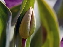 Free Unblown Largest Tulip Bud In The Spring Stock Photos - 95007583