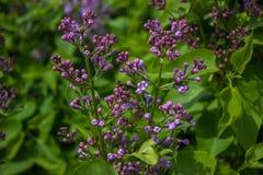 Unblown lila filial på våren royaltyfria bilder