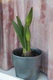 Unblown lilja i silverkrukan Royaltyfria Bilder