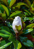 Unblown magnolia flower Royalty Free Stock Photo