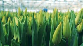 Unblown pączki żółci tulipany w glasshouse zbiory