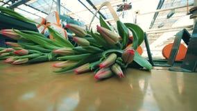 Unblown różowi tulipany dostają przetwarzali szklarnianym wyposażeniem zbiory
