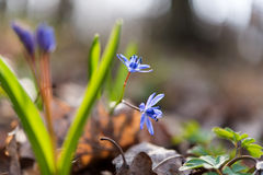 unblown wild growing squill (Scilla bifolia) Royalty Free Stock Photos