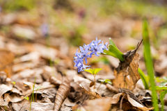 unblown wild growing squill (Scilla bifolia), blue early spring Royalty Free Stock Photography