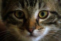 Unbred striped намордник портрета конца-вверх котенка только, оранжевые волосы вокруг носа стоковые изображения