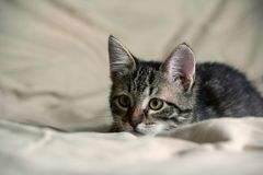 Unbred tabby kitten lying on yellowish material, looking carefully to side. Background similar material yellow shade, animal full-length lying, portrait, small royalty free stock image