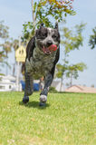 Unbridled excitement at the dog park. Royalty Free Stock Image
