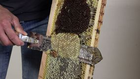 Uncapping frames. Ray release of filled honey prior to extraction stock video footage