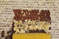 Uncapping honeycomb Stock Photography