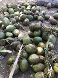 Unch of coconut fresh juice from nature. Bunch of coconut fresh juice from nature coconut Royalty Free Stock Images