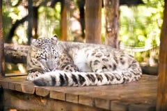 拉丁豹子名字雪uncia 库存图片