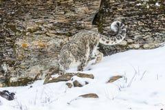 латинское uncia снежка имени леопарда Стоковая Фотография
