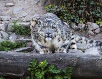 Uncia d'Uncia de léopard de neige Photographie stock