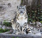 Uncia d'Uncia de léopard de neige Images stock