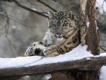 Uncia de Uncia do leopardo de neve, descansando na neve Fotos de Stock