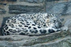 Uncia di Uncia del leopardo delle nevi allo zoo di Filadelfia Fotografia Stock