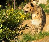 uncia för leopardpantherasnow fotografering för bildbyråer