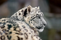 uncia schneeleopard Стоковое Изображение