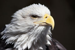 Uncle Sam- Portrait Of Determination. An American bald eagle portrait captured in natural light Royalty Free Stock Photography