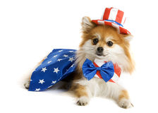 Uncle Sam Pup. Adorable Pomeranian puppy decked out in an Uncle Sam Suit. Isolated on white royalty free stock photography