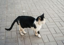 Unclean black and white cat in the street. Roofless pet outdoors. Vagrant cat. Dirty animal in the street Stock Photography