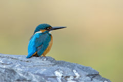 The uncommon Beauty. common Kingfisher (Alcedo atthis) Stock Images