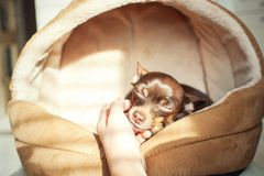 Unconditional devoted love. Owner`s hand stroking Little toy-ter. Unconditional devoted love. Owner`s hand stroking small toy-terrier dog head. Multicolored Royalty Free Stock Images