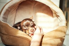 Unconditional devoted love. Owner`s hand stroking Little toy-ter. Unconditional devoted love. Owner`s hand stroking small toy-terrier dog head. Multicolored Stock Photos