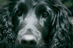 Unconditional Love. Closeup portrait of a pet dog with expressive eyes. Horizontal format stock photos