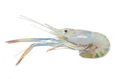 Uncook River Shrimp. Stock Photos