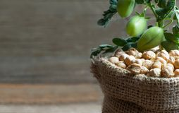 Uncooked dried chickpeas in burlap sack with raw green chickpea pod plant on wooden table. Heap of legume chickpea background royalty free stock images
