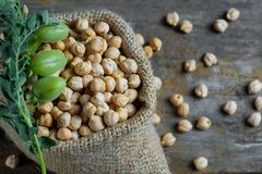 Uncooked dried chickpeas with raw green chickpea pod plant on wooden table. Uncooked dried chickpeas in burlap sack with raw green chickpea pod plant on wooden stock image