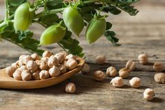 Uncooked dried chickpeas in wooden spoon with raw green chickpea pod plant on wooden table. Heap of legume chickpea background stock image