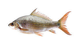 Uncooked Labiobarbus siamensis fish on white background Stock Images
