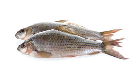 Uncooked Labiobarbus siamensis fish on white background Stock Photo