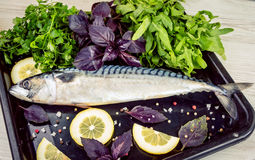 Uncooked raw mackerel fish. On a black tray with lemon slices, parsley, basil and rucola leaves Stock Image