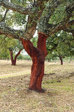 Uncorking the cork oak, Andalusia, Spain Royalty Free Stock Photos