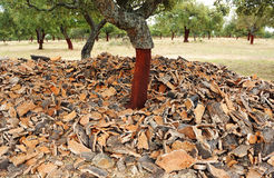 Uncorking the cork oak, Andalusia, Spain Stock Images