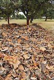 Uncorking the cork oak, Andalusia, Spain Royalty Free Stock Photo