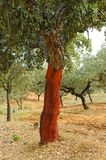 Uncorking the cork oak, Andalusia, Spain. Harvesting cork, cork oak forest, Natural Park the Alcornocales, Cadiz province, Andalusia, Spain Royalty Free Stock Photography