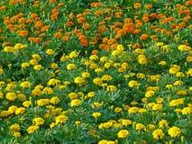 Uncountable żywego koloru żółtego i pomarańczowego koloru kwitnący nagietek kwitnie w zielonym polu Zdjęcie Royalty Free