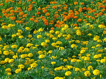 Uncountable vivid yellow and orange color blooming Marigold flowers in the green field Royalty Free Stock Photo