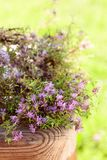 Uncultivated flowering thyme. Stock Photos