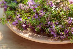 Uncultivated flowering thyme. Royalty Free Stock Images