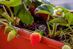Free Uncultivated Home Bred Fresh Strawberries In The Pot On The Branches Close Up View In Summer Sun Light Royalty Free Stock Image - 148927546
