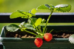 Free Uncultivated Home Bred Fresh Strawberries In The Pot On The Branches Close Up View In Summer Sun Light Royalty Free Stock Images - 148927739