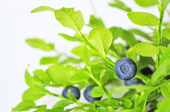 Uncultivated huckleberry. On twigs witn green leaves Royalty Free Stock Photo