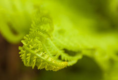 Uncurling Fiddlehead Fern Stock Photos