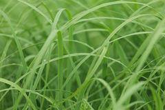 Uncut grass closeup Stock Images