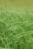 Uncut grass closeup Royalty Free Stock Photos